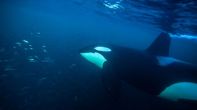 Wild Orca expedition