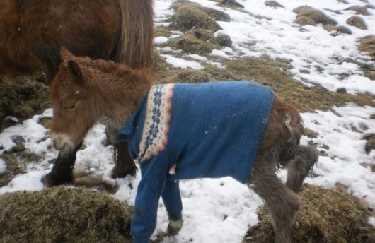 Icelandic horse in knitted jumper