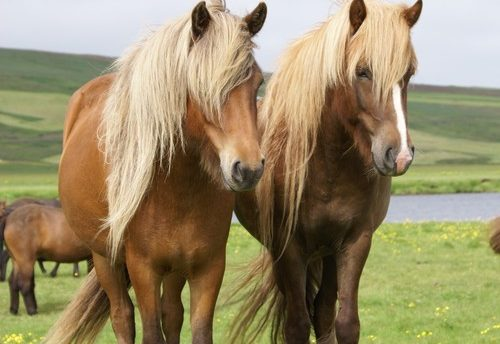 traditional icelandic horse riding