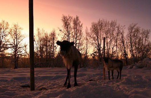 reindeer in the evening