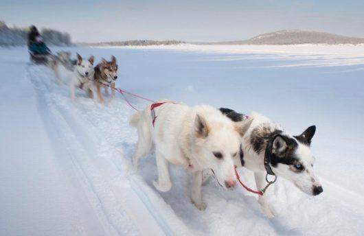 husky at Ice Hotel