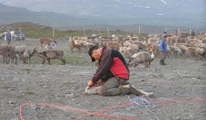 marking-reindeer
