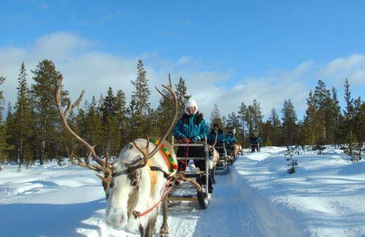 Reindeer Herding in Lapland