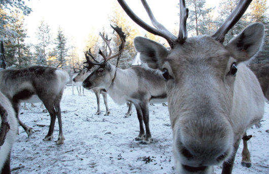 Reindeer Safari in Rovaniemi
