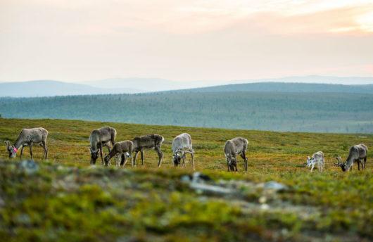 reindeer in summer