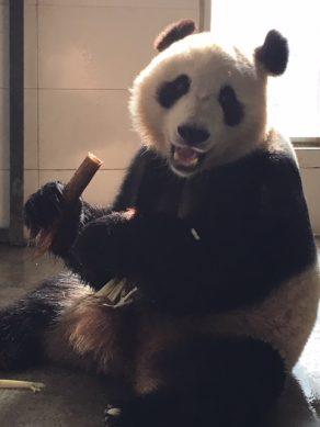Panda in Finland